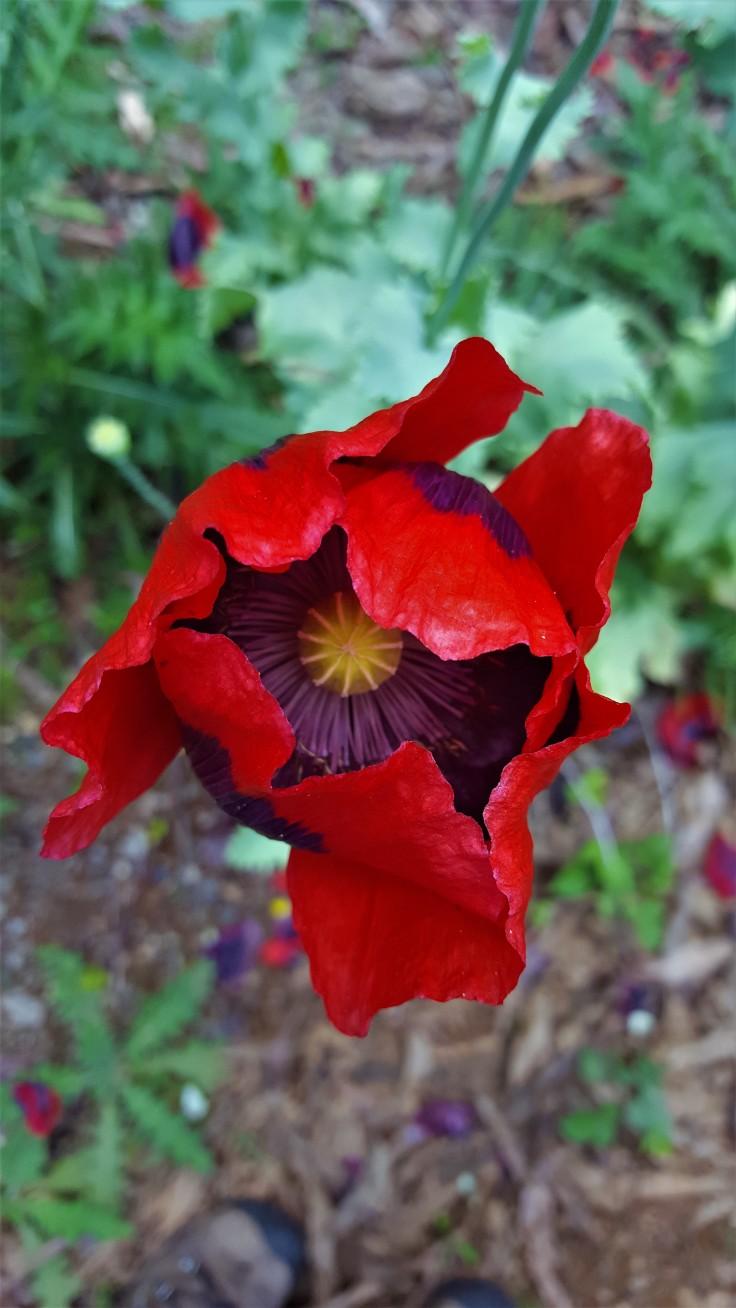 poppy-1